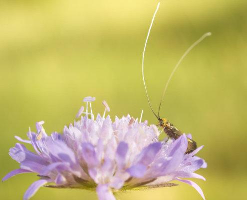 Nemophora metallica, Wąsateczka lśniaczek, insect, close up macro photography