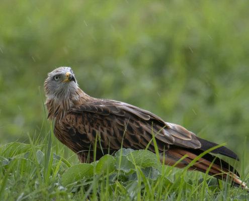 Young red kite, Milvus milvus, Kania Ruda, bird of prey in grass wildlife nature photography Puszcza Wkrzańska Rezerwat Świdwie