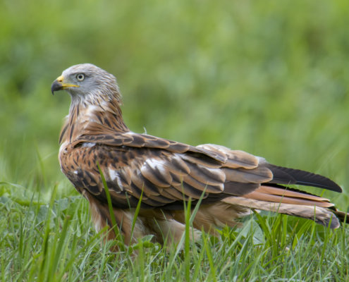 Red kite, Milvus milvus, Kania Ruda, bird, bird of prey, wild life, photography, nature photography, Artur Rydzewski, grass, green, brown bird, wild, nature