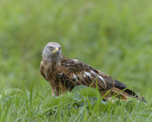 Red kite, Milvus milvus, Kania Ruda, bird, bird of prey, wild life, photography, nature photography, Artur Rydzewski, wild bird, brown bird, grass, green