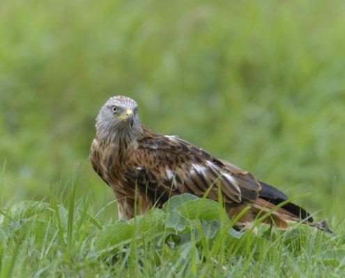 Red kite, Milvus milvus, Kania Ruda, bird, bird of prey, wild life, photography, nature photography, Artur Rydzewski, wild bird, brown bird, grass, green