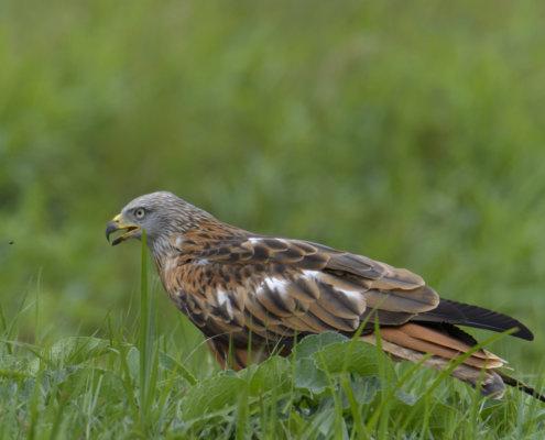 Red kite, Milvus milvus, Kania Ruda, bird, bird of prey, wild life, photography, nature photography, Artur Rydzewski, fly, grass