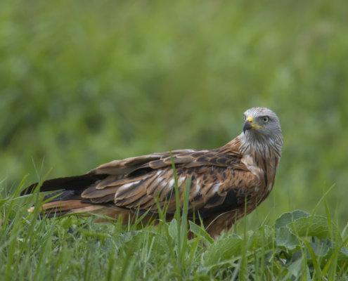 Red kite, Milvus milvus, Kania Ruda, bird, bird of prey, wild life, photography, nature photography, Artur Rydzewski, prey, brown bird, grass