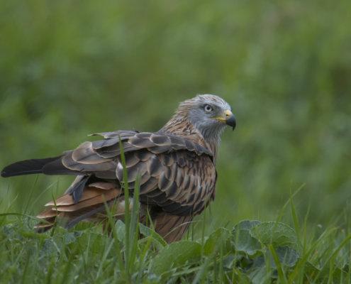 Red kite, Milvus milvus, Kania Ruda, bird, bird of prey, wild life, photography, nature photography, Artur Rydzewski, wings, grass, wild, wild bird