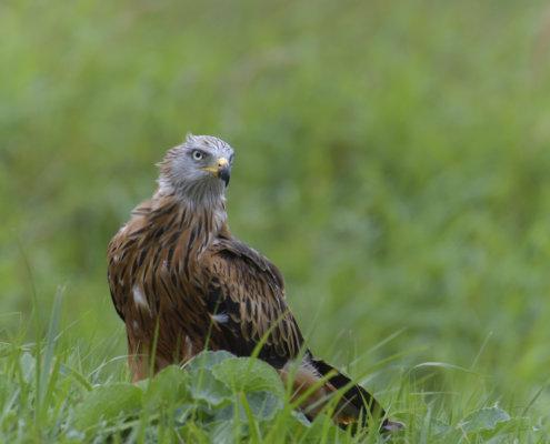 Red kite, Milvus milvus, Kania Ruda, bird, bird of prey, wild life, photography, nature photography, Artur Rydzewski, wild bird, grass