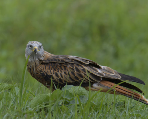 Red kite, Milvus milvus, Kania Ruda, bird, bird of prey, wild life, photography, nature photography, Artur Rydzewski, look at me, wild bird