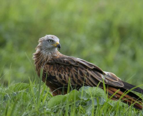 Red kite, Milvus milvus, Kania Ruda, bird, bird of prey, wild life, photography, nature photography, Artur Rydzewski, grass, wild