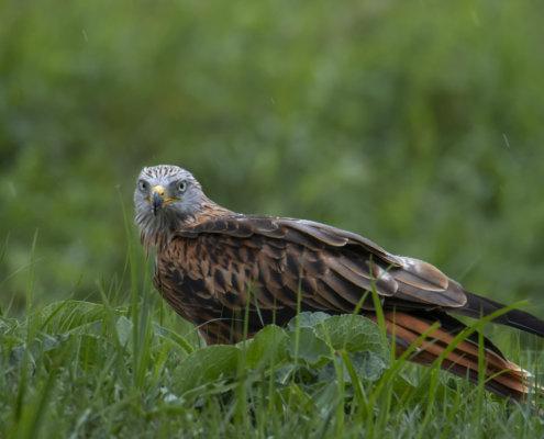 Red kite, Milvus milvus, Kania Ruda, bird, bird of prey, wild life, photography, nature photography, Artur Rydzewski, rain, red kite in the rain
