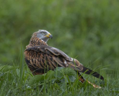 Red kite, Milvus milvus, Kania Ruda, bird, bird of prey, wild life, photography, nature photography, Artur Rydzewski