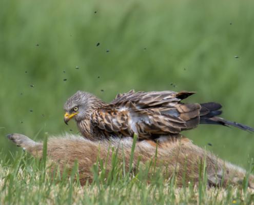 Bird of prey Red kite