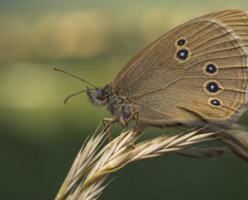 Butterfly, motyl, Ringlet, Aphantopus hyperantus, Przestrojnik trawnik