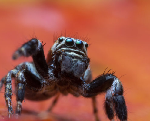 Skakun spider, small spider, jumping spider, close up macro photogrphy, eyes, orange background, wild life