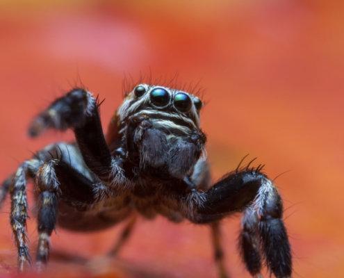 Skakun spider, small spider, jumping spider, close up macro photogrphy, eyes, orange background, wild life