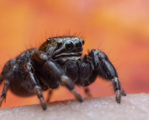 Skakun spider, small spider, jumping spider, close up macro photogrphy, eyes, orange background
