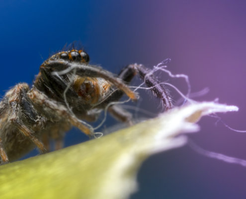 Skakun spider, small spider, jumping spider, close up macro photogrphy