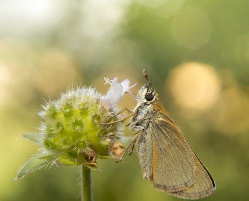 Butterfly, motyl, Skipper, Thymelicus lineola, Karłątek ryska, Karłątek tarninowy