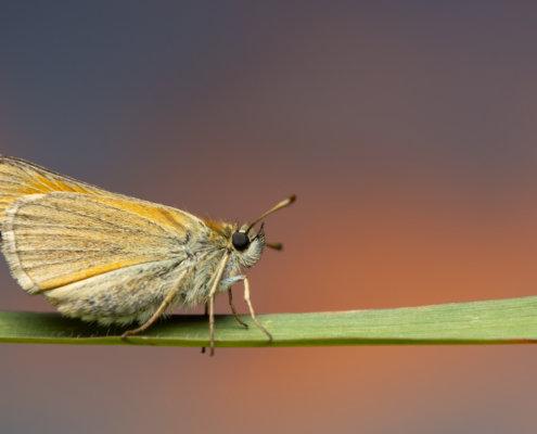 Skipper, Thymelicus lineola, Karłątek ryska, Karłątek tarninowy, orange butterfly close up