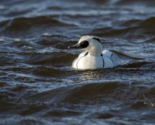 Smew, Mergellus albellus, Bielaczek, Tracz bielaczek, white water bird