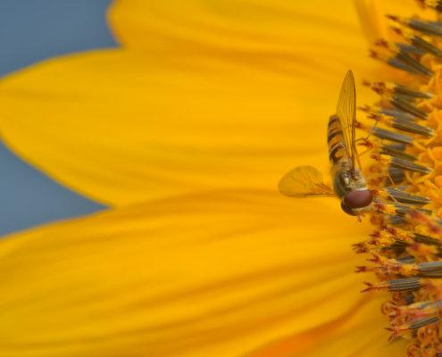 Sunflower, Episyrphus balteatus, Marmalade hoverfly, Bzyg prążkowany, macro photography