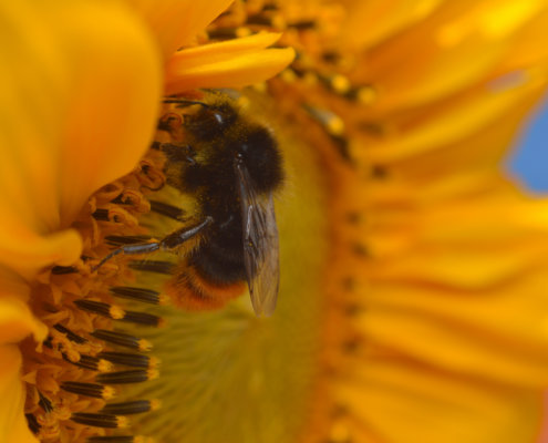 Sunflower, Red-tailed bumblebee, Bombus lapidarius, Trzmiel kamiennik, insect close up