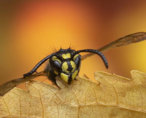 Wasp, Vespula vulgaris, Osa pospolita, insect close up macro photography, wasp head