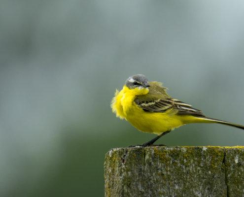 Western yellow wagtail, Motacilla flava, Pliszka żółta, Wolarka, small yellow bird