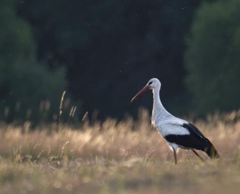 White stork, Ciconia ciconia, Bocian biały