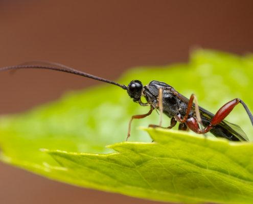 Xeris spectrum, Kruszel czarny, insect, insect on leaf