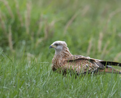 red kite, Milvus milvus, Kania Ruda, young bird of prey