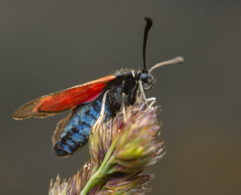 Zygaena loti, Slender Scotch burnet, Kraśnik komonicowiec, red wings, insect, moth, macro photography close up