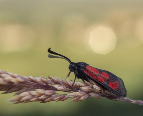 Butterfly, motyl, moth, ćma, Zygaena loti, Slender Scotch burnet, Kraśnik komonicowiec