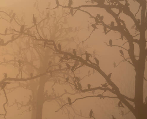 Cormorants in dead forest, birds on trees, nature photography
