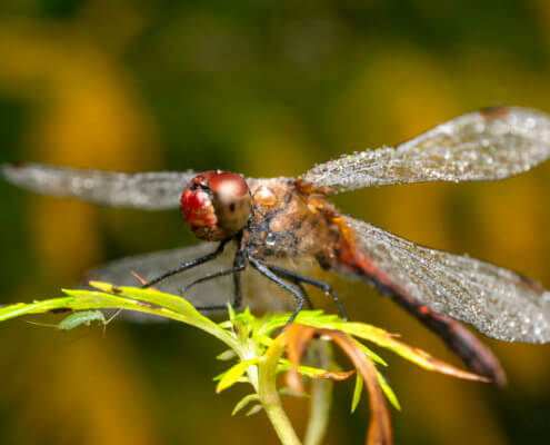 Macro photography, dagonfly, wings, insect, fly, nature, wild life, nature photography