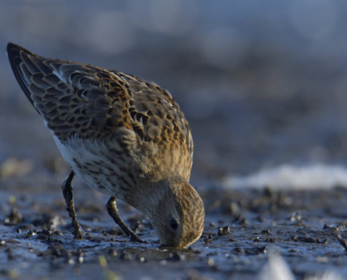 Dunlin, Calidris alpina, Biegus zmienny, water bird, bird, long beak, feeding, wild life photography