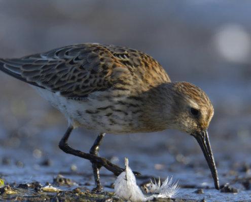 Dunlin, Calidris alpina, Biegus zmienny, water bird, bird, long beak, feeding, white feather, wild life photography