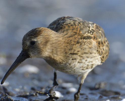Dunlin, Calidris alpina, Biegus zmienny, long beal, close up, bird, water bird