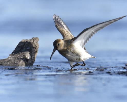 Dunlin, Calidris alpina, Biegus zmienny, water bird, wings, feeding, long beak