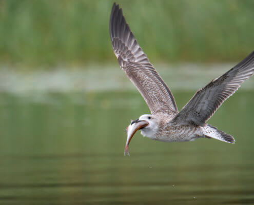 Seagull, European herring gull, Larus argentatus, Mewa srebrzysta, eating, feeding, fish, eating fish, bird eat fish, bird eating fish, wings, wild life, nature photography
