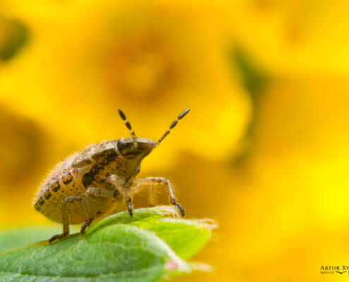 Macro photography, insect, bug, yellow background, wild life, young insect, young bug, leaf