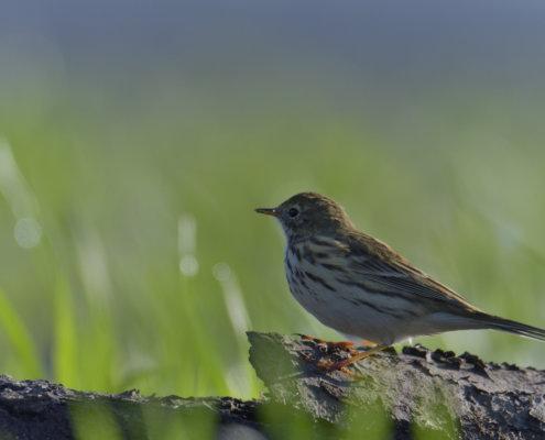Meadow pipit, Anthus pratensis, Świergotek łąkowy, bird, nature photography small bird, wild life