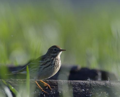 Meadow pipit, Anthus pratensis, Świergotek łąkowy, bird, nature photography, small bird, wild life