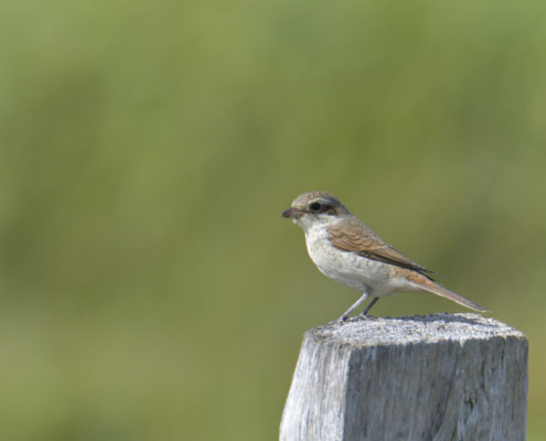 Red-backed shrike, Gąsiorek, dzierzba gąsiorek, Lanius collurio bird nature photography