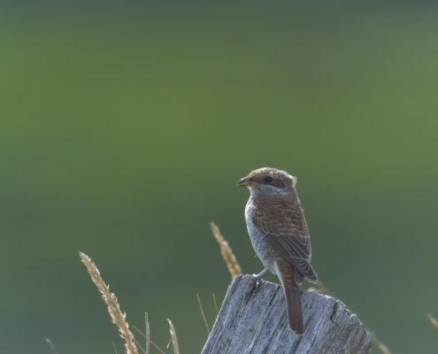 Red-backed shrike, Gąsiorek, dzierzba gąsiorek, Lanius collurio, bird, small bird, young, nature photography, wild life