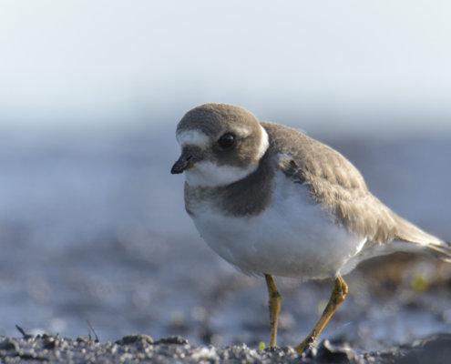 Ringed plover, Charadrius hiaticula, Sieweczka obrożna, bird, small bird, water bird