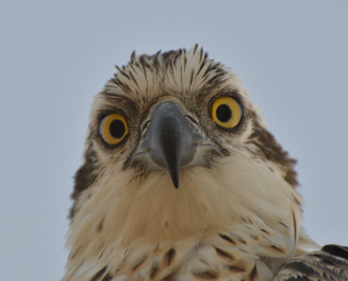 Pandion haliaetus, sunrise, sunset, osprey, sky, bird, sea hawk, river hawk, fish hawk, Bird of prey, Close up, head, eye, beak, wildlife nature photography, Artur Rydzewski, rock, rocky coast, orange sky, white brown bird, yellow eye, head of osprey, head, yellow eyes, stare, gape, angry bird, angry,, rybołów