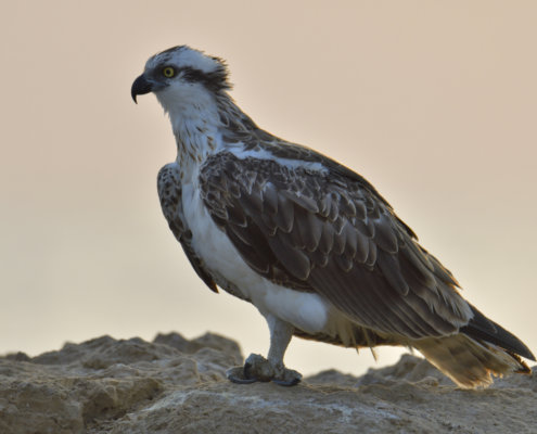 The osprey also called sea hawk, river hawk, and fish hawk on the orange sky background. Bird of prey