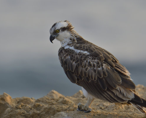 Pandion haliaetus, sunrise, sunset, osprey, sky, bird, sea hawk, river hawk, fish hawk, Bird of prey, Close up, head, eye, beak, wildlife nature photography, Artur Rydzewski, rock, rocky coast, rybołów