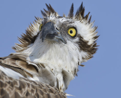 The head of osprey also called sea hawk, river hawk, and fish hawk on the blue sky background. Bird of prey.