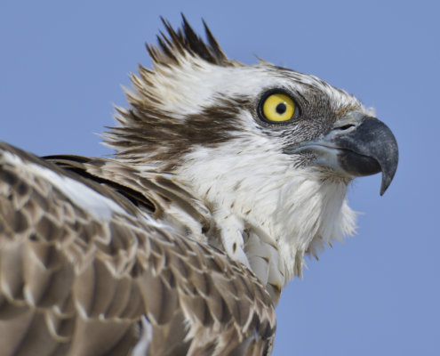 head of osprey sea hawk river hawk fish hawk blue sky background Bird of prey rybołów, nature photography, Pandion haliaetus, rybołów, Artur Rydzewski photography