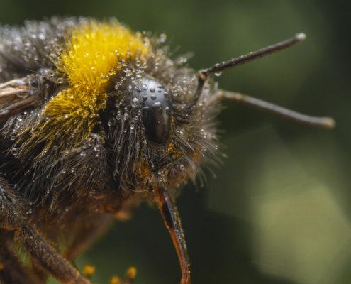 Bumblebee, macro photography, close up, wildlife, bug, insect, small, nature photography, Artur Rydzewski